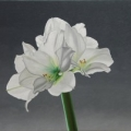 White Amaryllis for Georgia O'Keeffe